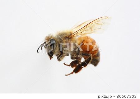 セイヨウミツバチの働き蜂 30507505