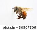 セイヨウミツバチの働き蜂 30507506