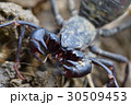 タイワンサソリモドキ 30509453