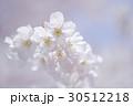 桜・早咲き種のアップ 30512218