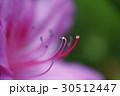 オオムラサキツツジのアップ 30512447