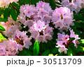 ピンクの花(20170508恩賜箱根公園) 30513709