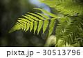 葉 リーフ 葉っぱの写真 30513796