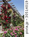 花 薔薇 山下公園の写真 30514019
