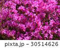 赤紫のツツジ(20170508恩賜箱根公園) 30514626