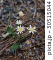 花 植物 キク科の写真 30515044