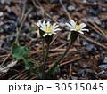 花 植物 キク科の写真 30515045
