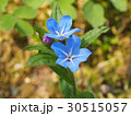 花 植物 山野草の写真 30515057