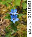 花 植物 山野草の写真 30515058