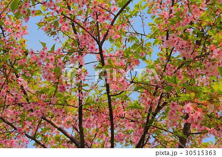 葉桜 30515363