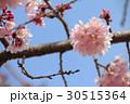 桜 30515364