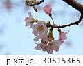 桜 30515365