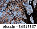 枝下桜 30515367