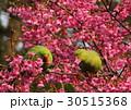 ワカケホンセイインコ 30515368