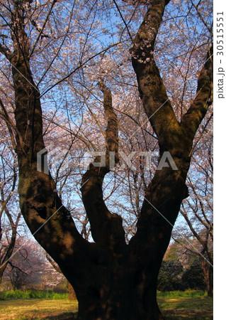 桜の森 30515551