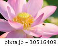 古代蓮とミツバチ 30516409