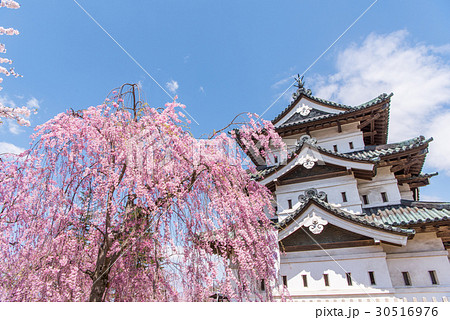 弘前公園の桜 天守 30516976