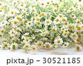 カモミール ジャーマンカモミール 花の写真 30521185