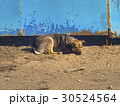 Sad lonely dog lying at the gate 30524564