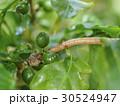 緑色のコーヒー豆 30524947