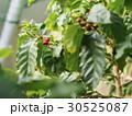 赤色のコーヒー豆(遠め) 30525087