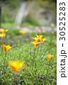 チューリップ 花 植物の写真 30525283