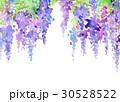 水彩 花柄 藤のイラスト 30528522