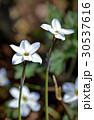 花韮 イフェイオン スプリングスターフラワーの写真 30537616