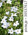 花韮 イフェイオン スプリングスターフラワーの写真 30537617