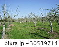 林檎 春 果樹園の写真 30539714