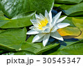 Beautiful Water lily on the lake 30545347