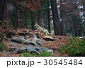 Coyote during snowfall at Yosemite National Park 30545484