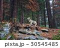 Coyote during snowfall at Yosemite National Park 30545485