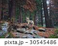 Coyote during snowfall at Yosemite National Park 30545486