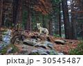 Coyote during snowfall at Yosemite National Park 30545487