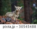 Coyote during snowfall at Yosemite National Park 30545488