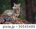 Coyote during snowfall at Yosemite National Park 30545489