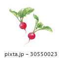 ラディッシュ 野菜 二十日大根のイラスト 30550023