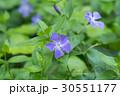 ツルキキョウ(蔓桔梗) 30551177