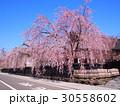角館 桜 武家屋敷 30558602