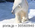 ホッキョクグマ 熊 動物の写真 30560940