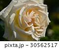 植物 花 薔薇 5月  30562517