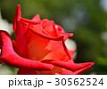植物 花 薔薇 30562524