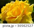 植物 花 薔薇  30562527