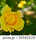 植物 花 薔薇  30562529