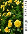 植物 花 薔薇 初夏 30562531
