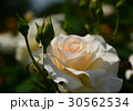 植物 花 薔薇 初夏  30562534