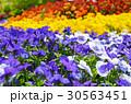 花 ビオラ 花壇の写真 30563451