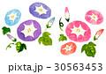 朝顔 30563453