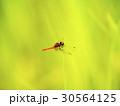 ハッチョウトンボ 蜻蛉 トンボの写真 30564125